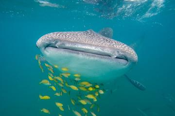 Whale Shark Safari Snorkeling Tour in...