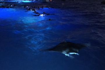 Guaranteed Manta Ray Night Snorkel