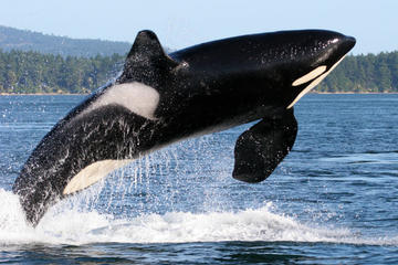 Walvissen spotten vanuit Friday Harbor