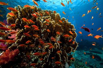 Crucero y buceo de superficie en el mar Rojo y Ras Mohammed