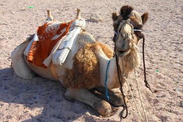 Kamel-Safari mit optionalem Abendessen nach Beduinenart