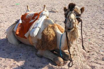 Safari a dorso di cammello con cena beduina facoltativa