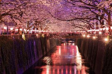 Evening Hanami (Cherry Blossom...