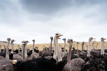 Excursão terrestre por Curação: Fazenda de Avestruzes Aventura em...