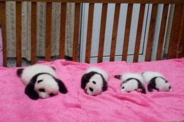 Chengdu Guided Tour: Giant Pandas and Shu Culture Museum