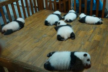 Giant Panda Hometown and Taoist Mountain Discovery From Chengdu