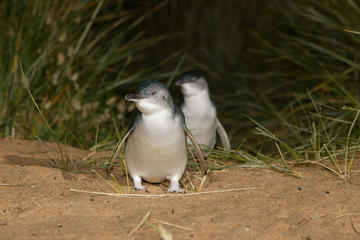Ilha Phillip Penguin, Brighton Beach...