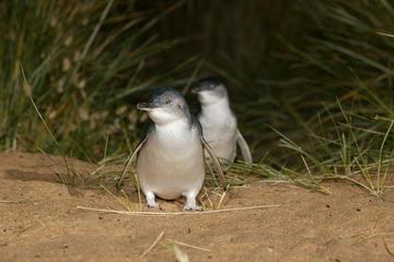 Pingüinos de Isla Phillip, playa de...