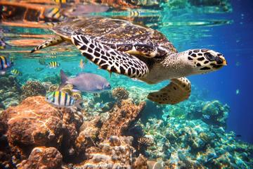 Snorkeling with Turtles in the Bay of Akumal from Cancun