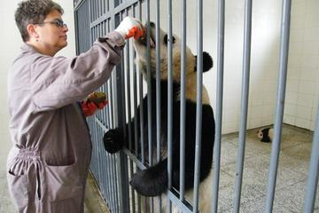 Private Tour: Volunteer for a Day at Dujiangyan Panda Rescue Center...