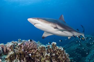 Duiken naar haaien bij Oahu