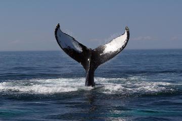 Crucero de avistamiento de ballenas en Boston