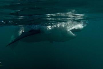 Käfigtauchen mit Haien in Gansbaai