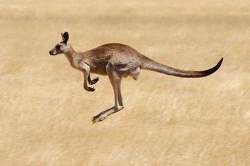 Koalaer og kænguruer i den vilde...