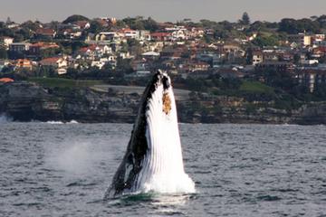 croisiere-d-observation-des-baleines-a-sydney