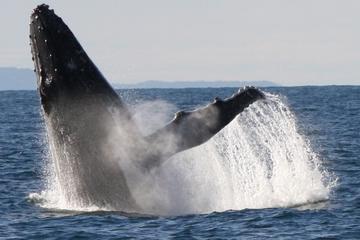 Crucero para grupos pequeños de avistamiento de ballenas ecológico en...