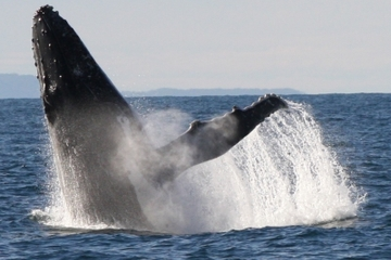Sydney Eco Bootstour zur Walbeobachtung in einer kleinen Gruppe