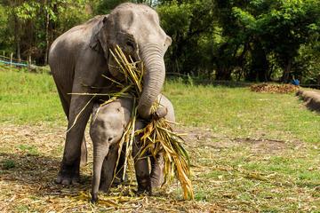 Visite d'une demi-journée l'après-midi de l'Elephant Jungle Sanctuary...
