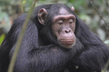 1 day Chimpanzee Tracking Tour in...