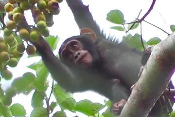 3 Day Chimpanzee Tracking Safari to...