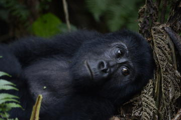 3 day Gorilla Tracking Tour to Bwindi ...