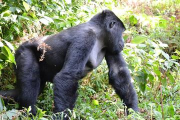 4 Days Gorilla Tracking and Queen...