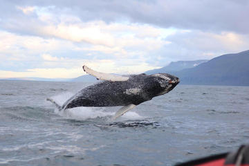 Whale Watching RIB Boat Tour from...