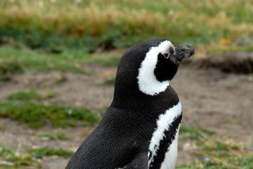 Excursão terrestre em Punta Arenas: Excursão à Colônia de Pinguins de...