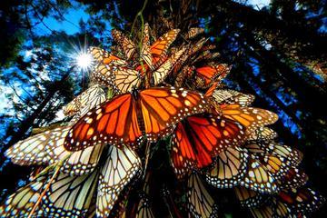 Excursión de 6 noches a la migración de las mariposas monarca desde...