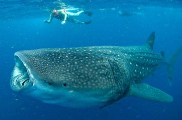 Nade com tubarões-baleia em Cancún...