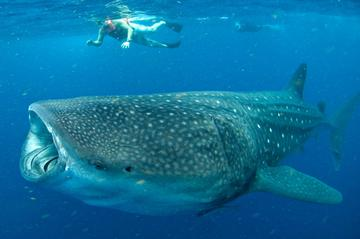 Swim with Whale Sharks in Cancun: Small-Group Snorkeling Tour