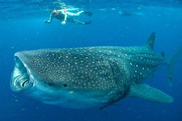 Zwemmen met walvishaaien in Cancun: snorkeltour met kleine groep