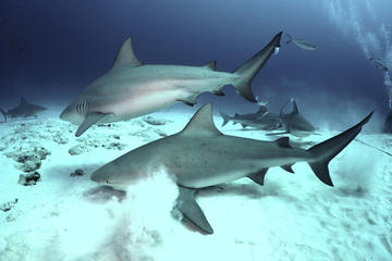 Two-Tank Dive with Bull Sharks