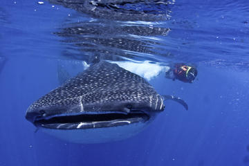 Whale Shark Swimming Adventure in Cancun