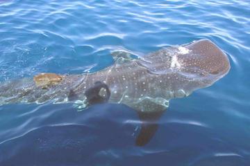 Aventura para grupos con tiburones ballena desde Isla Holbox