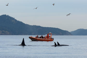 Walvissen spotten per zodiac vanuit ...