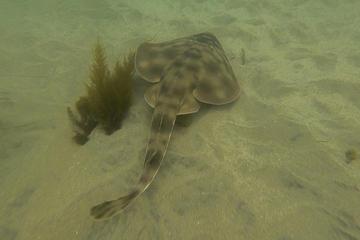 Leopard Shark Snorkel Tour in La Jolla