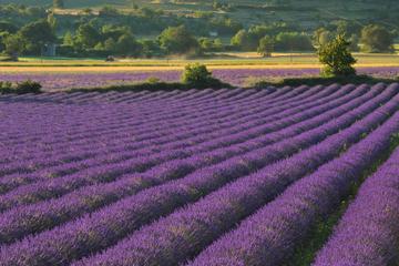 Excursão privada: Passeio de um dia aos campos de lavanda da Provença...