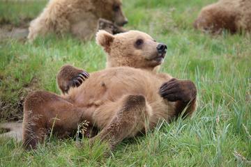 Tour di avvistamento degli orsi nella