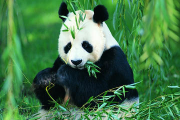 Chengdu Private Day Tour of Panda Breeding Center, Wide-and-Narrow...