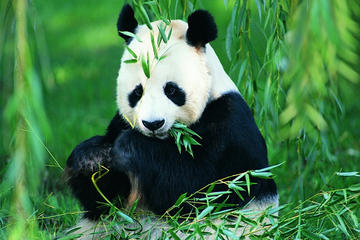 Chengdu Private Day Tour: Pandas...