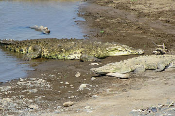 Crocodiles  Safari Tour from Puntarenas