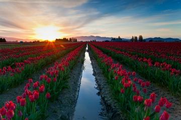 Tagesausflug von Seattle: Tulpenfestival in Skagit Valley