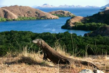 2-Day Komodo National Park and Rinca Island Wildlife Adventure from...