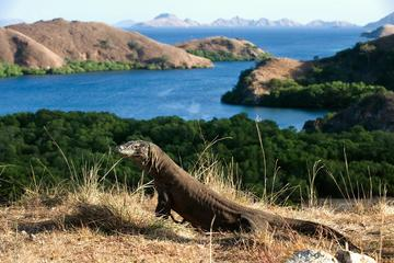 2-tägiges Komodo National Park und Rinca Island Wildlife Adventure ...