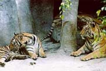Tour naar tijgerdierentuin vanaf Pattaya inclusief lunch