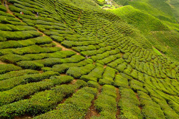 2-Day Cameron Highlands Adventure from Kuala Lumpur