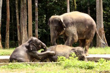 Privat rundtur: Dagsrundtur till elefantreservat från Kuala Lumpur