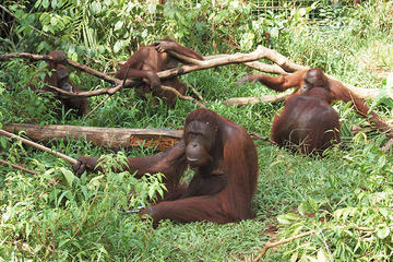 Private Tour: Orangutan Island and...