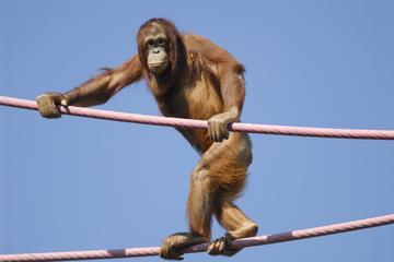 Recorrido al centro de recuuperación de orangutanes Semenggok desde...